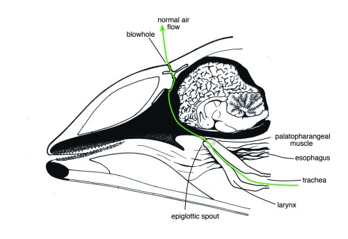In their normal physiology, shown above, air flows between a dolphin's lungs and its blowhole. In the mouth-breathing dolphin, the scientists suspect that the larynx disconnects from its normal pathway at the epiglottic spout, and instead creates an opening to the mouth. Adapted from an illustration by Stephen Dawson