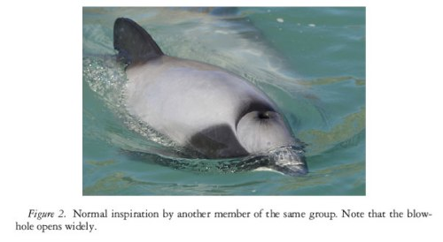 Hector-dolphin_normal_breat