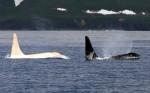 Iceberg-white-killer-whale-Russia