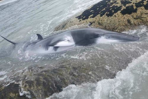 The whale was stuck between two rocks when it was spotted. Supplied : Jesse Wise