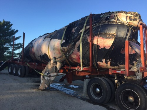 The carcass of an endangered right whale found floating off Boothbay Harbor sits Sunday in a tractor-trailer that transported it from the Portland waterfront to Benson Farm in Gorham, creating a bit of an overnight spectacle in the streets along the way. Photos courtesy Benson Farm in Gorham