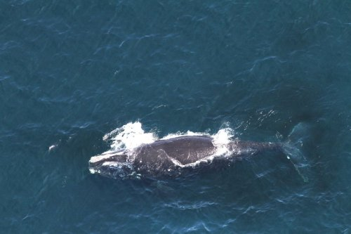 Whale 3694 swims in the Gulf of Maine in 2014. First spotted in 2006, she had been seen and identified 26 times.Image collected under MMPA research permit 17355; NOAA/NEFSC/Christin Kahn