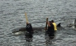 whale-refloated-Capbreton-Canada
