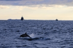 Common dolphin breaks the surface during this month's Joint Warrior Nato exercise. Picture : Edd Hewett/HWDT.