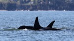 Orcas are returning to Puget Sound in search of chum salmon. Jill Hein/courtesy of Orca Network.