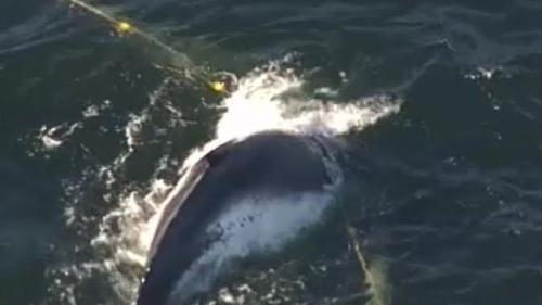 Whale caught in shark net off Gold Coast. Photo: Twitter/Nine News Gold Coast