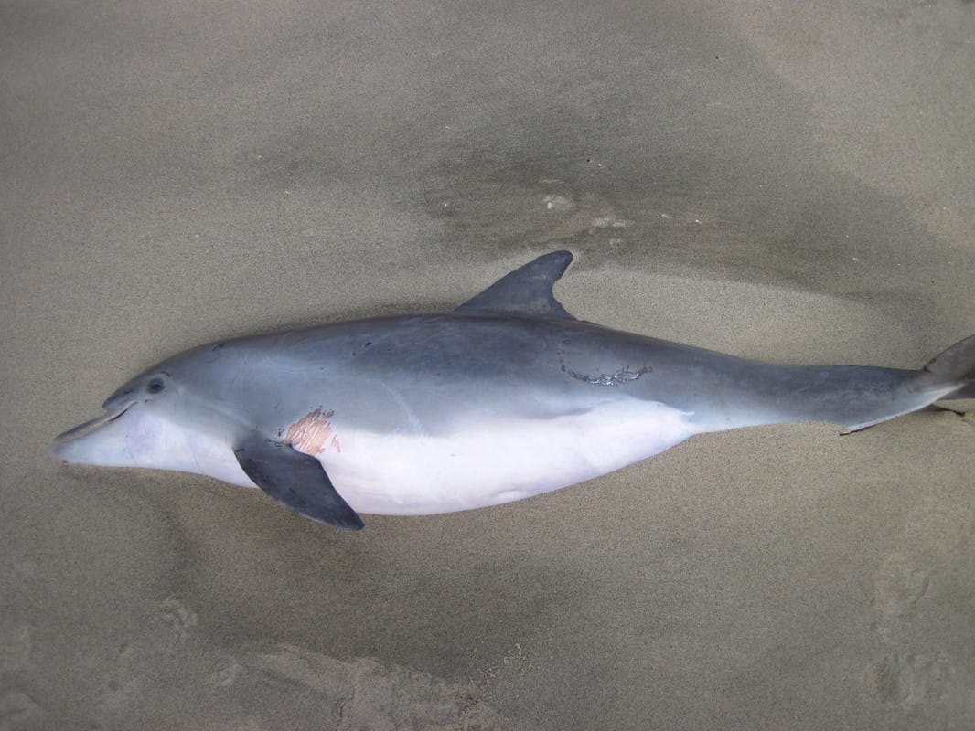 Beached dolphins - photo#21