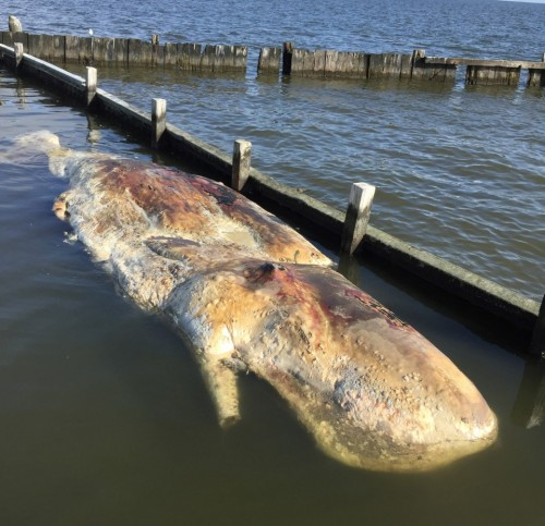 Capt. Travis Lovell took pictures of a rotting whale carcass he ran across in late December in southern Terrebonne Parish. Biologists with the Louisiana Department of Wildlife and Fisheries had tried to rescue the animal after it beached itself on a mud flat near Turtle Bayou.