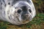 Juvenile grey seal resting.