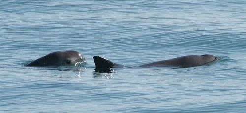 Vaquitas are shy and hard to find, which is why the Navy is using dolphins.NOAA