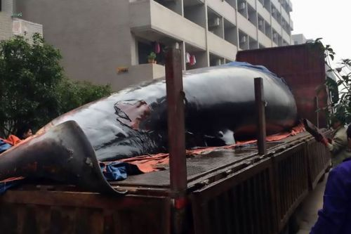 Belly of the whale being cut open (Photo : Asiawire)