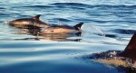 Common dolphins swiming